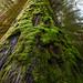 Old Growth Cedar by KPieper