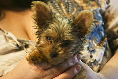 dog breed, animal, puppy, dog, pet, norwich terrier, cairn terrier, close-up, carnivoran, yorkshire terrier, terrier,
