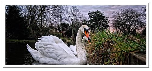 bird water beautiful fairytale grace lancashire explore curious muteswan orangebeak naturesfinest lancastercanal naturesfines swimmingwithswans munchinggrass