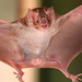 Common Vampire Bat - Photo (c) Arthur Tahara, some rights reserved (CC BY-NC-ND)