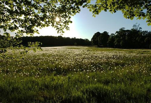 sweden meadow dandelions lerum cubism västragötaland västergötland äng nääs floda maskrosor tollered näässlott damniwishidtakenthat maskrosbollar