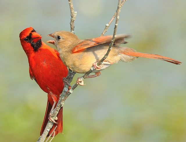 Male Cardinal & Baby female | Flickr - Photo Sharing!
