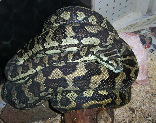 Coastal Carpet Python (M. spilota mcdowelli), Adult Female ...