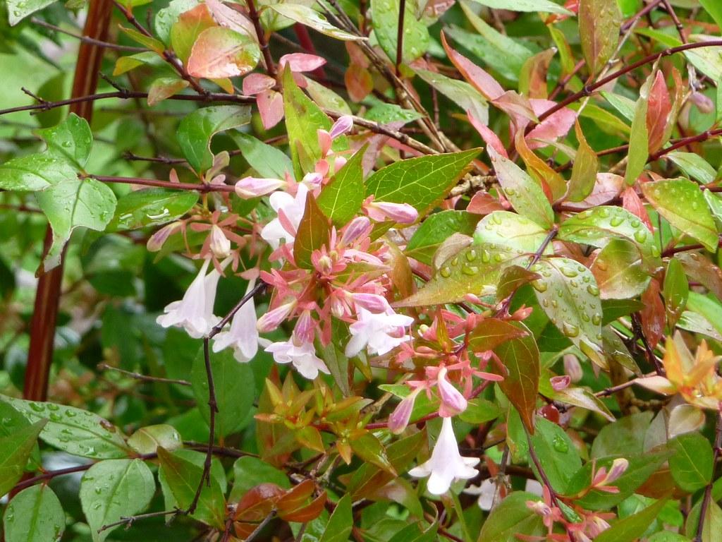 Abelia X Grandiflora Francis Mason Siouxbarrett68 Flickr