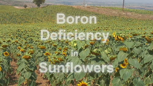 Boron Deficiency in Sunflowers