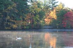 Hager Pond Swan