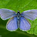 Polyommatus icarus by Atlapix