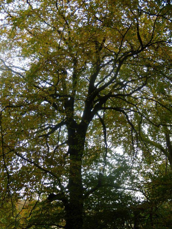 tree Goring circular