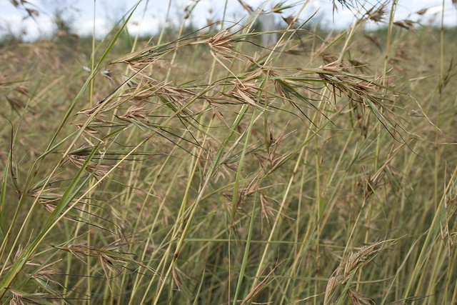black spear grass