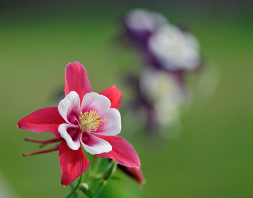 Red and Purple Columbine