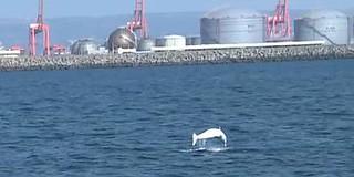 台中港發現的白海豚。(攝影:簡毓群)