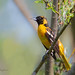 _53F8540 Baltimore Oriole