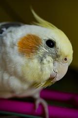 cockatoo, animal, parrot, yellow, pet, fauna, close-up, cockatiel, beak, bird,