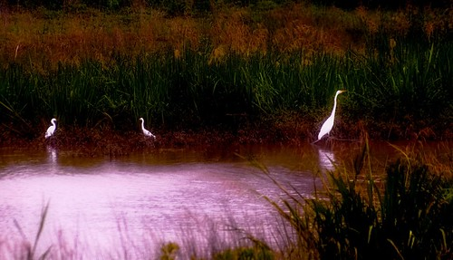 White Heron And Her Two Chicks