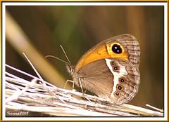 Parc Natural del Garraf 22 - Papallona, pyronia bathseba