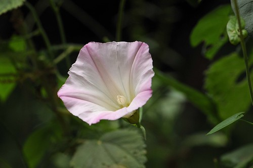 wild morning glory (Calystegia purpurata)
