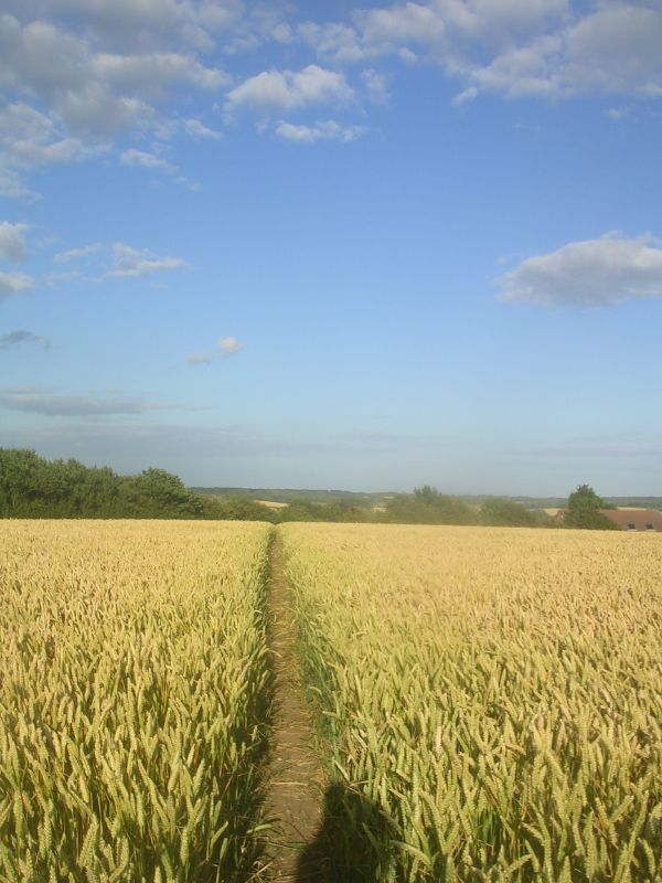 Through wheat Lewes to Berwick via West Firle