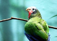 animal, macaw, parrot, pet, green, fauna, parakeet, common pet parakeet, beak, bird,