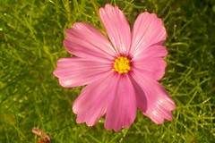 annual plant, flower, garden cosmos, plant, macro photography, wildflower, flora, close-up, cosmos, pink, petal,