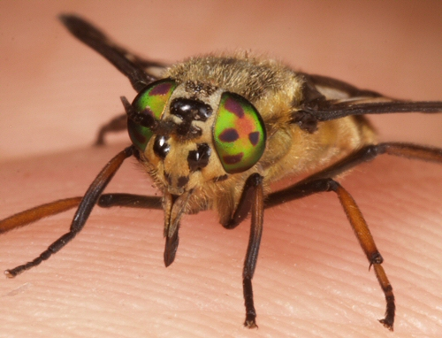 Deer Fly Chrysops relictus Rutland Water, UK August 2008