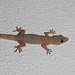 Tropical House Gecko - Photo (c) Adrián Afonso, some rights reserved (CC BY-NC-SA)