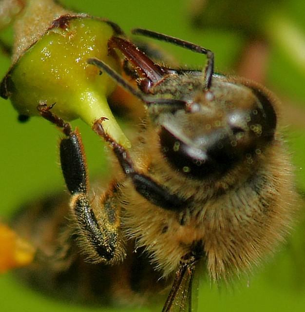 Header of nectary
