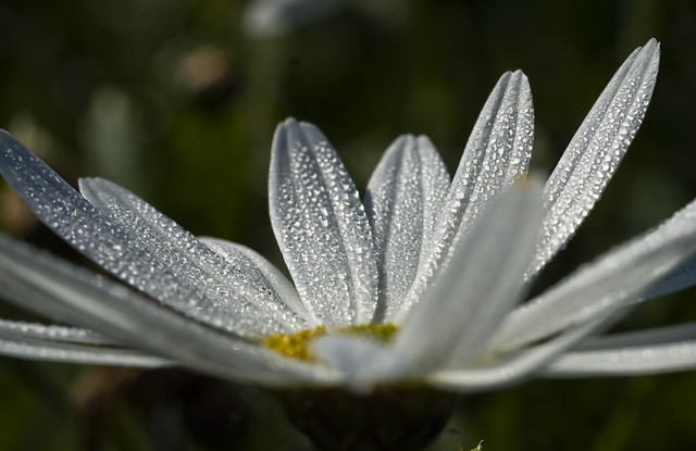 dewdrop on white