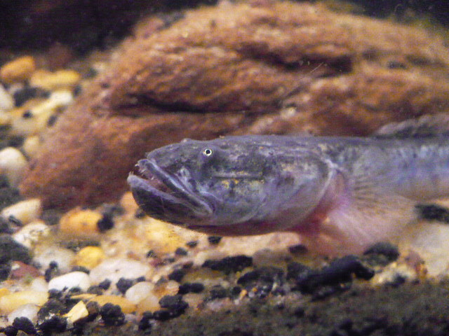 Dragon goby flickr photo sharing for Dragon fish goby