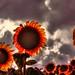 Terrifying Sunflowers by esinuhe69