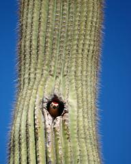 Gila Woodpecker Hello