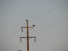 3878 Turkey Vultures on Power Pole