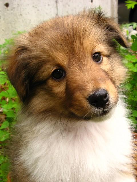 Sheltie Dog For Sale Arnprior