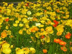 annual plant, eschscholzia californica, flower, field, yellow, plant, wildflower, flora, meadow, poppy,