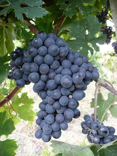 [フリー画像素材] 食べ物, 果物・フルーツ, ブドウ ID:201212170800