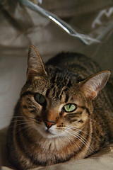 animal, tabby cat, toyger, small to medium-sized cats, savannah, pet, mammal, european shorthair, pixie-bob, fauna, close-up, cat, rusty-spotted cat, whiskers, ocicat, domestic short-haired cat,
