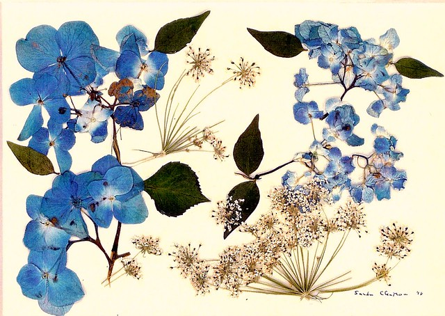 Pressed flower print of Hydrangeas