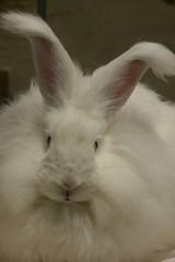 whiskers(0.0), nose(1.0), animal(1.0), white(1.0), rabbit(1.0), domestic rabbit(1.0), pet(1.0), angora rabbit(1.0), rabits and hares(1.0),