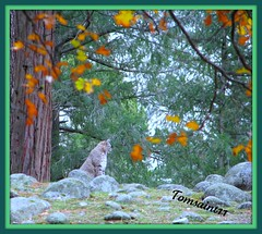 Bobcat in Yosemite by Rennett Stowe