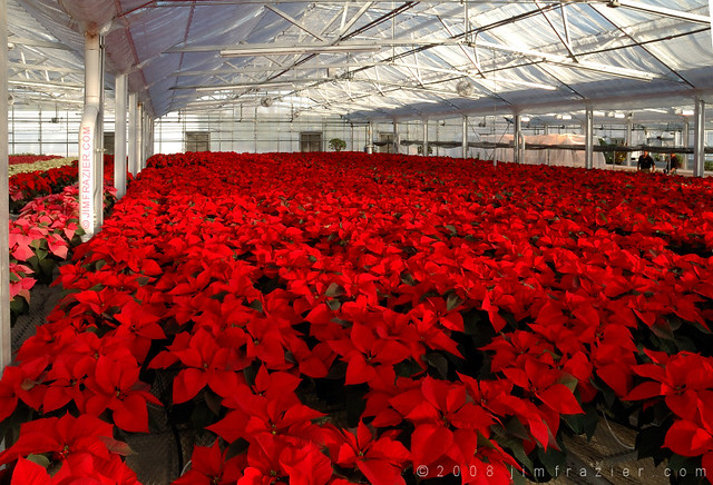 Greenhouse of Poinsettias