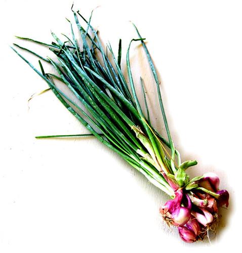 Allium Ascalonicum, Onion Stalk, Daun-bawang