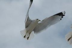 Sea Gull 009