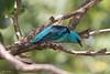 Macho de Saí-azul, Saí, Saí-bico-fino ou Saí-bicudo -  (Dacnis cayana) - A male of a Blue Dacnis or Turquoise Honeycreeper - 22-02-2009 - IMG_8291