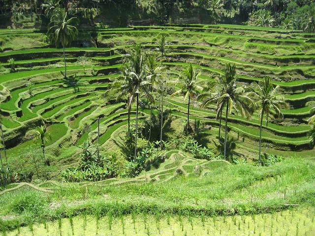 Rice field terrace