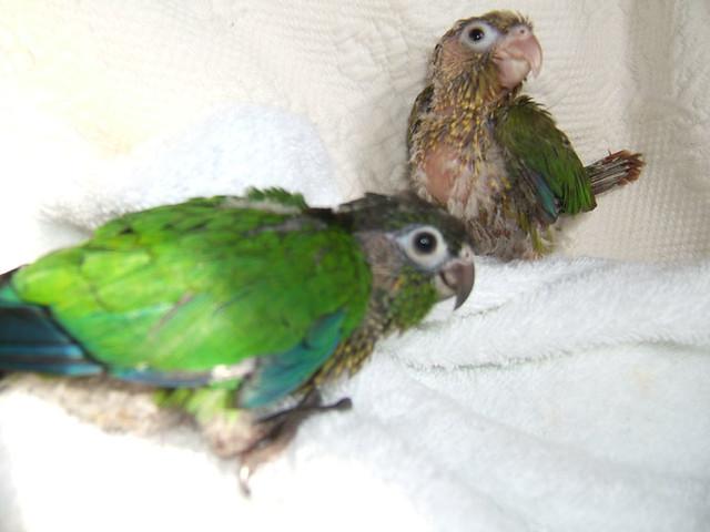 Baby Green Cheek Conures | Flickr - Photo Sharing! - photo#9