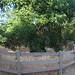 CHL# 168 - Oak of the Golden Dream - Placerita Canyon