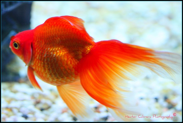 Fancy goldfish Flickr - Photo Sharing!