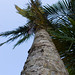 Small photo of Palm Tree
