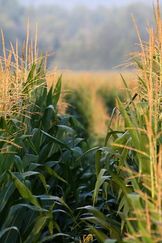 field rural wow geotagged nc corn bokeh farm geotag lincolncounty geo:lat=3554382 geo:lon=8124602 ncpedia