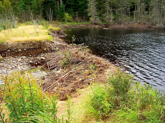 Eager beaver dam construction ducks unlimited pond for Small pond dam design