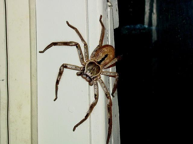 Huntsman Spider | Flickr - Photo Sharing!